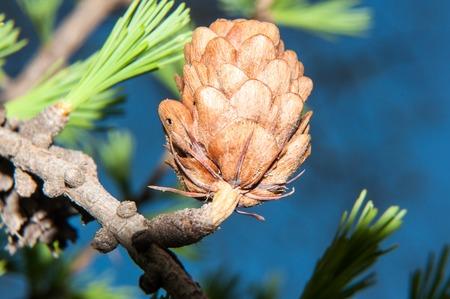 pinaceae: Larix genus of deciduous coniferous plant family Pinaceae Stock Photo