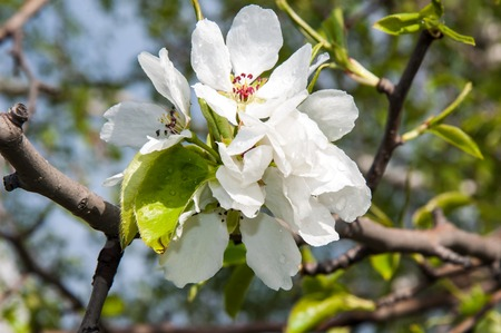 Spring Flowers of the Apple-tree after the rain photo