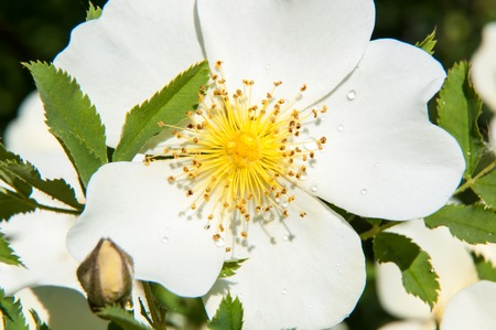 Spring Flower dog rose