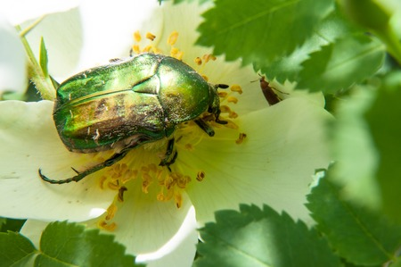 Chafer genus of insects of the family of scarab