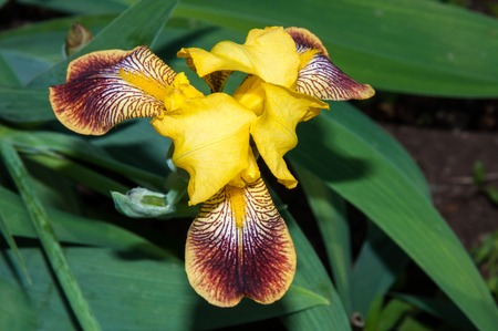 iridaceae: Iris a genus of perennial plants in the family Iridaceae or Iridaceae