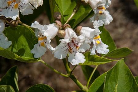 catalpa: Catalpa a genus of plants in the family Bignoniaceae