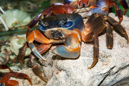 differ: Rainbow crab a large, extremely beautiful, differ bright three-color coloration