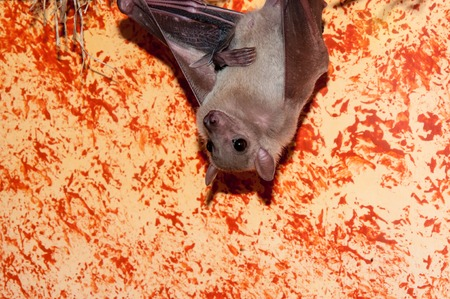 pteropus: Egyptian fly dog or Nile Pteropus species of bats in the family of fangs Stock Photo