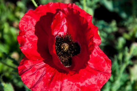 herbaceous: Poppy born herbaceous plants in the family Papaveraceae Stock Photo