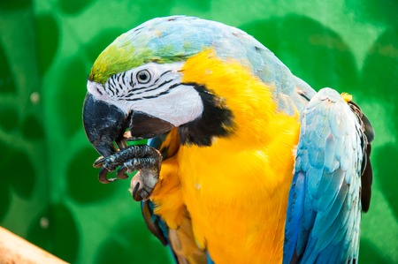 translated: Blue-and-yellow Macaw Ara ararauna Latin name is a beautiful parrot. Translated from Latin means ararauna blue gold