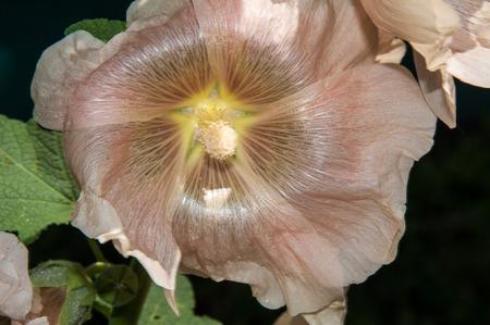 malvaceae: Malva herbaceous plant in the family Malvaceae