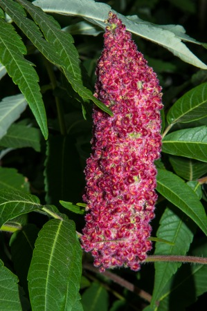 staghorn: Sumac or Rhus born, uniting some 250 species of shrubs and small trees in the family Anacardiaceae