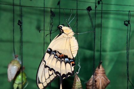 Butterfly Sailboats or Papilionidae or swallowtail  family Lepidoptera photo