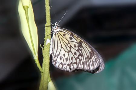 Idea leuconoe butterfly of the Nymphalidae family and subfamily of Danainae
