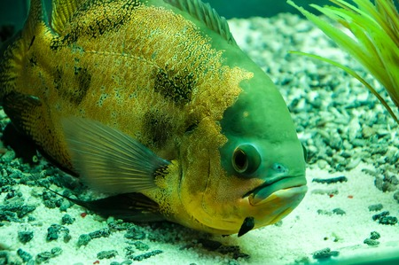 Astronotus ocellatus or Astronoutus Oscar a large aquarium fish of the Amazon Stock Photo
