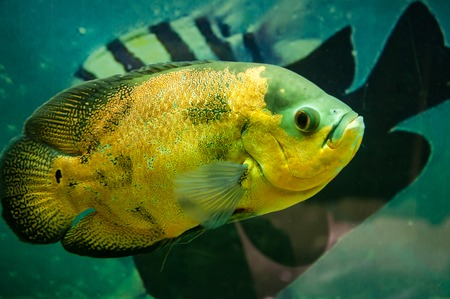 ocellatus: Astronotus ocellatus or Astronoutus Oscar a large aquarium fish of the Amazon Stock Photo