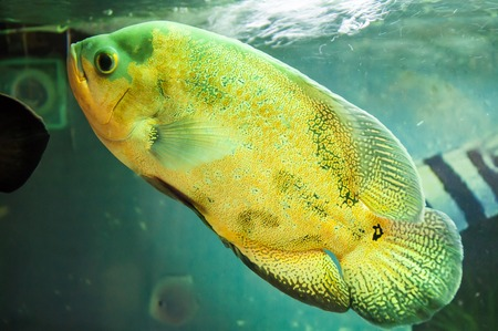 astronotus: Astronotus ocellatus or Astronoutus Oscar a large aquarium fish of the Amazon Stock Photo