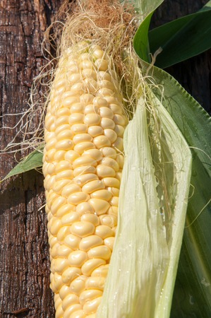 zea: Corn sugar or maize annual grassy plant, the only cultural representative of the kind of Zea of the family Poaceae