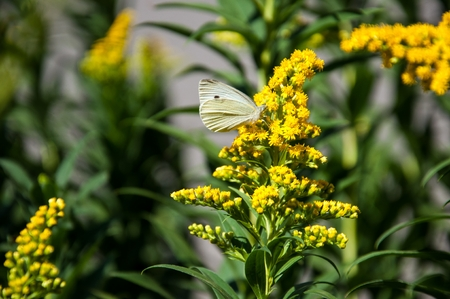 Cabbage white butterfly or Pieris brassicae day butterfly from the family Pieridae  photo