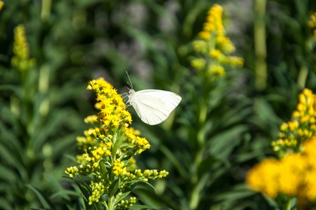 Cabbage white butterfly or Pieris brassicae day butterfly from the family Pieridae