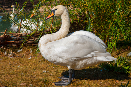 anseriformes: Swans (LAT. Cygnus), a genus of birds in the detachment of the anseriformes and the family ducks