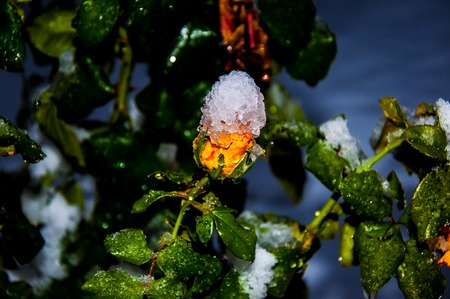 Yellow rose at night and the first early snow photo