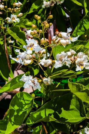 catalpa: Spring Flower Catalpa a plant that belongs to the family bignoniaceae