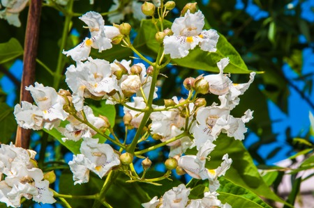 belongs: Spring Flower Catalpa a plant that belongs to the family bignoniaceae