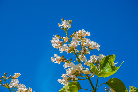 catalpa: Spring Flower Catalpa a plant that belongs to the family bignoniaceae