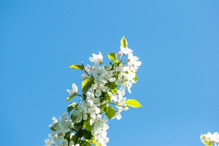 White flower of Apple trees in sunny spring day Stock Photo
