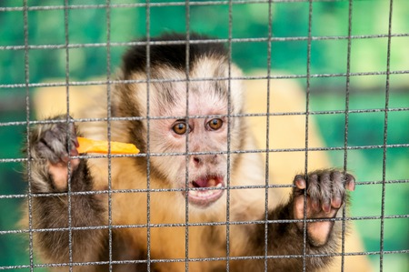 subspecies: Capuchins (Cebus) is a genus of monkeys combines up to thirty subspecies Stock Photo