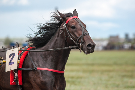 horses in the wild: Horse racing is a type of testing horses on playfulness (speed), which concludes on the suitability for further breeding (use the breed) Stock Photo