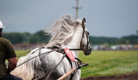 alkalmasság: Lóverseny egyfajta tesztelése lovak a játékosság (sebesség), amely megállapítja az alkalmasságát a további tenyésztés (használja a fajta). Stock fotó