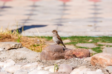 passer by: The house sparrow (Passer domesticus) is a bird of the sparrow family Passeridae