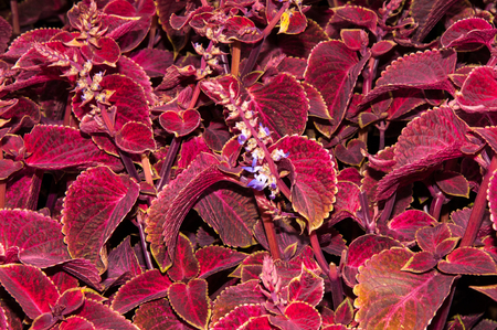 ornamental horticulture: Coleus genus of perennial Evergreen plants in the family Lamiaceae Stock Photo