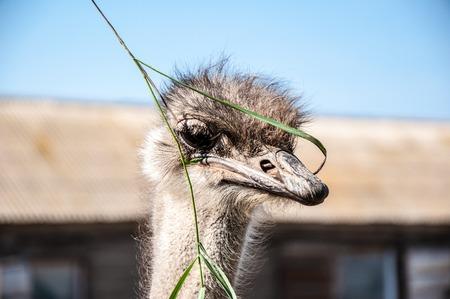 pecker: Black African ostrich or Struthio camelus