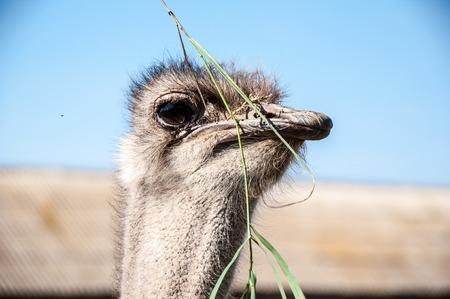 struthio camelus: Black African ostrich or Struthio camelus