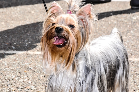 developed: Yorkshire Terrier decorative breed of dog developed in England