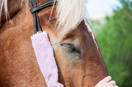 extant: The horse (Equus ferus caballus) is one of two extant subspecies of Equus ferus Stock Photo