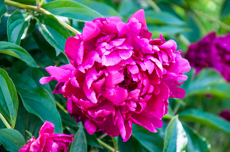 pion: Flower peony red color in summer day