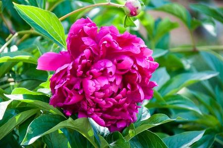 colour in: el rojo peonía flor en día de verano