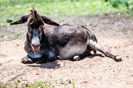 hete zwarte ezels