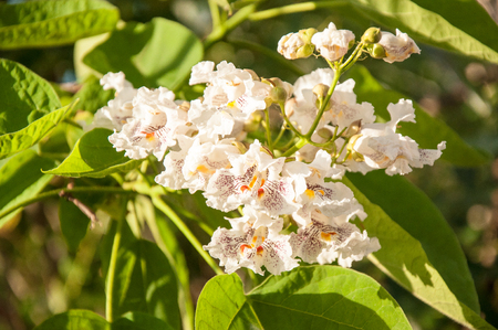catalpa: Catalpa flowers in hot and sultry summer day