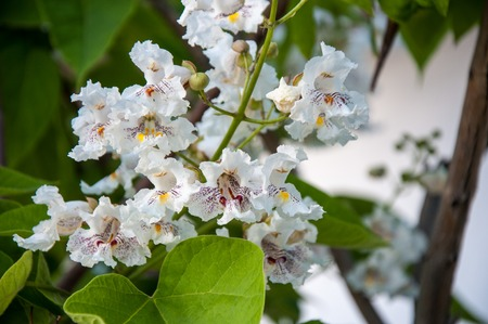 sultry: Catalpa flowers in hot and sultry summer day