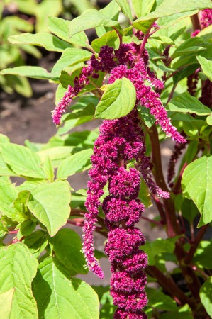 widely: Fruit amaranth are widely used in medicine