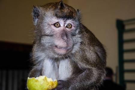 Monkey for breakfast eats ripe and juicy PEAR