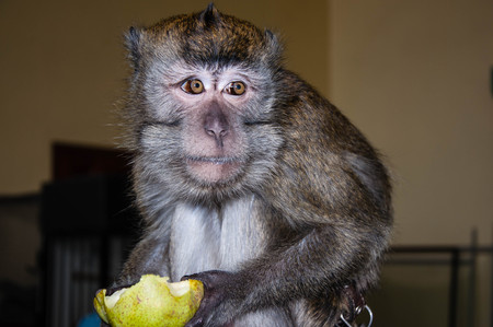 expressive face: Monkey for breakfast eats ripe and juicy PEAR