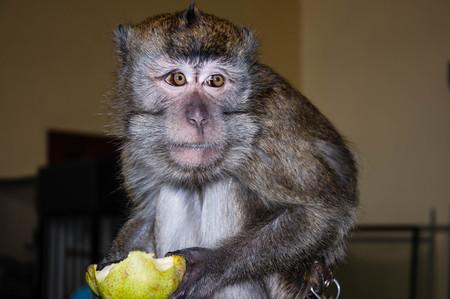 biped: Monkey for breakfast eats ripe and juicy PEAR