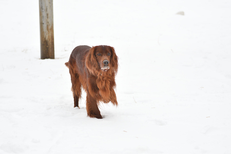 Dog breed Irish Red setter for a walk in a winter morning Stock Photo