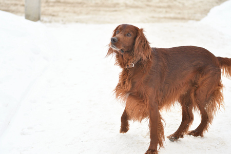 Irish setter dog breed winter walk