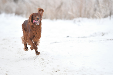 Dog breed Irish Red setter plays the winter walk