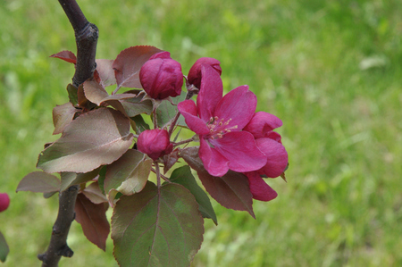Flowers of the Apple-tree red color spring morning