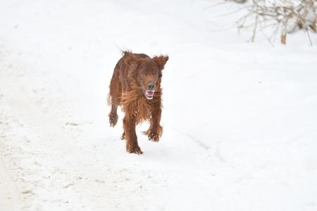 Hunting dog Irish Red setter on winter walk