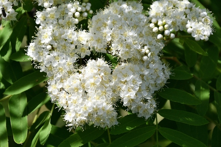 White flowers Rowan on a spring day Stock Photo